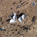 Beach_Shells